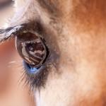 Giraffe eye image