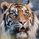 close up image of a sumatran tiger's face