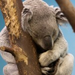 Image of a sleeping koala bear