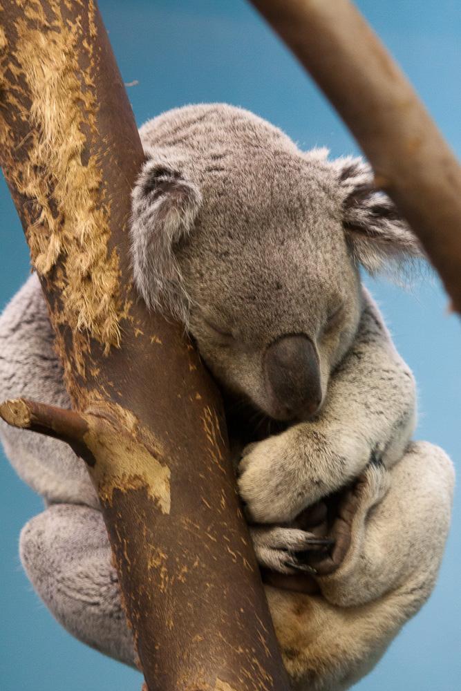 Image of a sleeping koala bear
